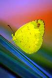 Beautiful Yellow Butterfly. Beautiful little yellow butterfly resting on a leaf royalty free stock photos