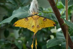 Beautiful yellow butterfly. Emerging from its pupa royalty free stock images