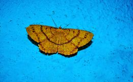 Beautiful Yellow Butterfly With Blue Background. royalty free stock images