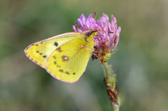 Beautiful yellow butterfly collects nectar on a bud of flower. Beautiful yellow butterfly collects nectar on a bud of a meadow flower royalty free stock images