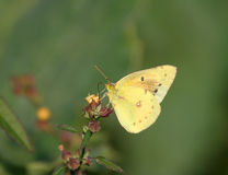 Beautiful Yellow Butterfly feeding on wild Plant Stock Photo
