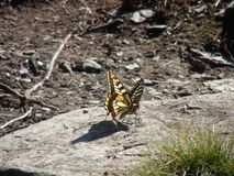 Beautiful yellow butterfly in the french alps mountain. Royalty Free Stock Photos