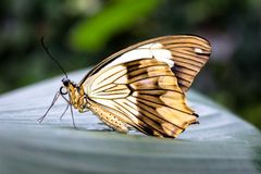 Beautiful yellow butterfly on a leaf royalty free stock photography