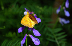 Beautiful yellow butterfly purple wildflower Stock Images