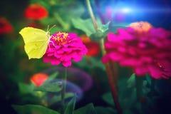 Beautiful yellow butterfly sitting on pink zinnia flower. Nature royalty free stock image