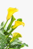 Beautiful yellow calla lilies on white background Royalty Free Stock Photo