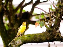 Beautiful yellow canary bird on tree branch Stock Photography