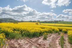 Beautiful yellow Canola flowers in the English summertime. A colorful display of beautiful yellow canola flowers and crops in an English countryside field Stock Photo