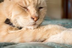 Beautiful yellow cat resting royalty free stock images