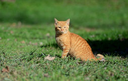 Beautiful yellow cat walking through green grass. Royalty Free Stock Photo