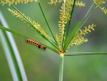 Beautiful yellow caterpillar with black spots over back stock photography
