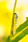 Beautiful yellow caterpillar Papilio machaon Royalty Free Stock Photo