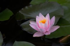 Beautiful Yellow Centred Pink Water Lily stock photo