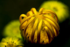 Beautiful yellow chamomile bud not bloomed Royalty Free Stock Photography