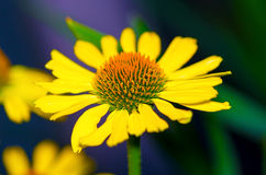 Beautiful yellow chamomile Royalty Free Stock Photos