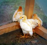 Beautiful yellow chickens Stock Image