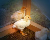 Beautiful yellow chickens Stock Images