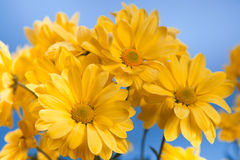 Beautiful yellow chrysanthemum Stock Photography