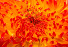 Beautiful yellow chrysanthemum closeup Stock Photo