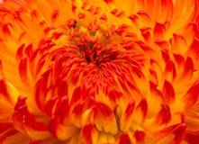 Beautiful yellow chrysanthemum closeup Royalty Free Stock Photography