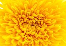 Beautiful yellow chrysanthemum closeup Stock Photography