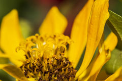 Beautiful yellow chrysanthemum. The flower bud in the garden features Stock Images