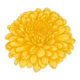 Beautiful yellow chrysanthemum flower effect watercolor isolated on white background. Royalty Free Stock Photography