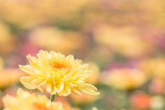 Beautiful of yellow Chrysanthemum flower in fields selective focus. And blurred background Stock Photography