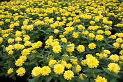 Beautiful Yellow Chrysanthemum flower Garden abstract background Stock Photo