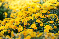 Beautiful Yellow Chrysanthemum flower Garden abstract background Royalty Free Stock Photography