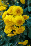 Beautiful yellow chrysanthemum flowers Stock Images