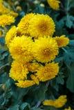 Beautiful yellow chrysanthemum flowers Stock Images