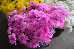 Beautiful yellow chrysanthemum and pink Royalty Free Stock Photos