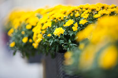 Beautiful yellow chrysanthemums flowers Stock Images