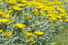 Beautiful yellow  chrysanthemums Royalty Free Stock Photo