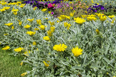 Beautiful yellow  chrysanthemums Royalty Free Stock Image