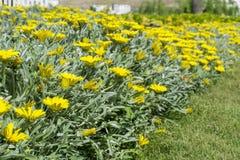 Beautiful yellow  chrysanthemums Stock Photos