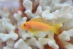 Beautiful yellow Cichlid fish swimming gracefully with white dead coral in the background being kept as pet