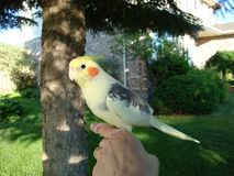 Beautiful yellow cockatiel in on owner`s finger stock photos