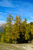 Beautiful yellow colors of autumn trees. In the mountain forest stock photography
