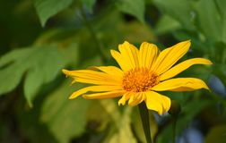 Beautiful Yellow coloured sun Flower. A beautiful Yellow coloured sun flower closeup macro shot royalty free stock photos