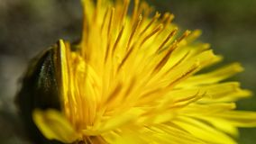 Coltsfoot flower. Beautiful yellow coltsfoot flower in summer closeup photo stock photo