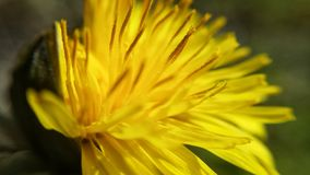 Coltsfoot flower. Beautiful yellow coltsfoot flower in summer closeup photo royalty free stock images