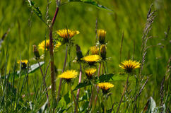 Beautiful yellow coltsfoot flowers Royalty Free Stock Photos