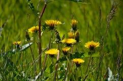 Beautiful yellow coltsfoot flowers Stock Photos