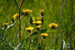 Beautiful yellow coltsfoot flowers Stock Image