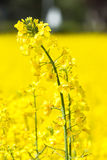 Beautiful yellow colza field  blossom Royalty Free Stock Image
