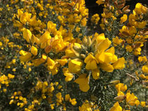 Beautiful yellow Common Gorse Flowers Royalty Free Stock Images