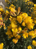 Beautiful yellow Common Gorse Flowers Royalty Free Stock Photography