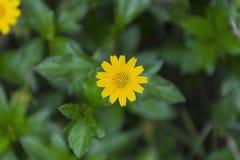 Beautiful yellow Compositae, Singapore daisy. Royalty Free Stock Image